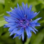 василек синий описание