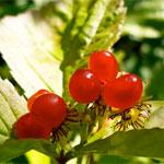 http://www.inflora.ru/img/stoneberry.jpg